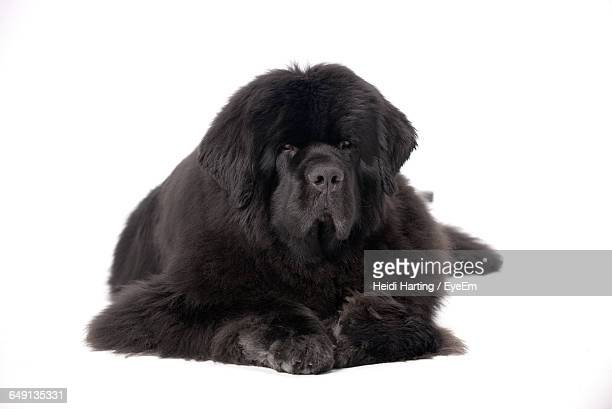newfoundland dog sitting against white background - newfoundland dog stock photos and pictures