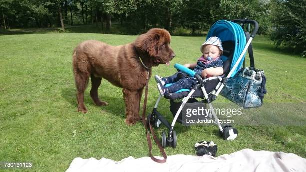 Newfoundland Dog Standing By Baby Relaxing In Stroller On Grassy Field