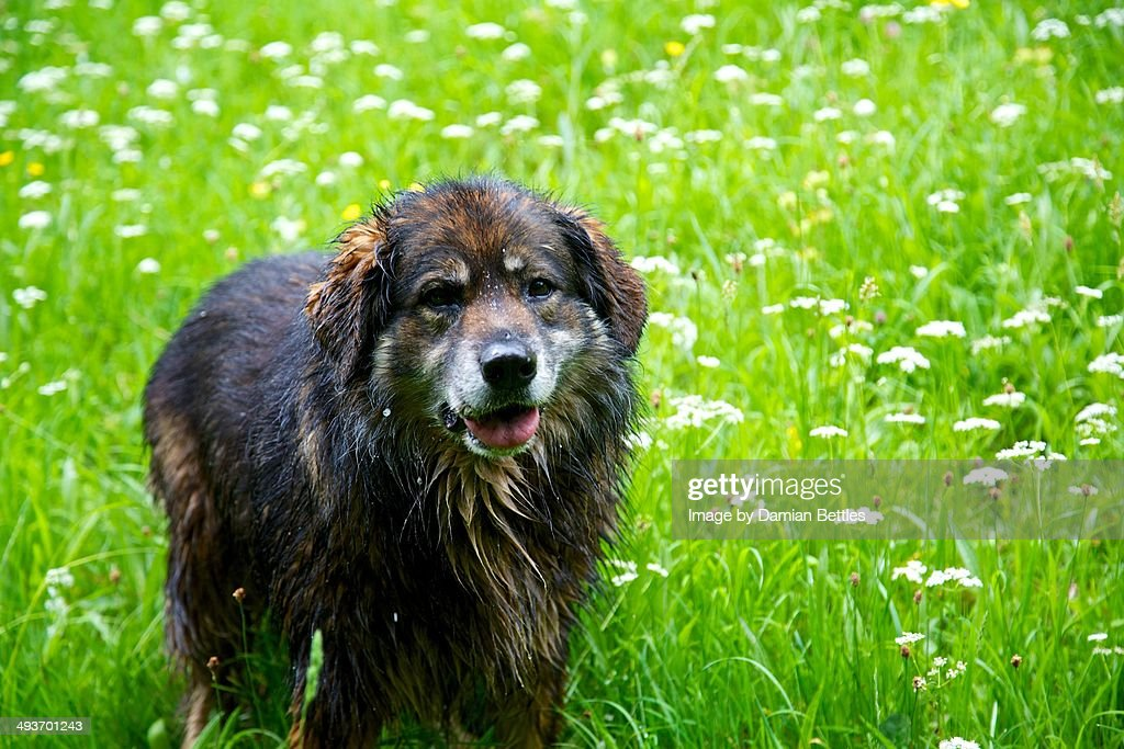 Newfoundland in Spring Meadow : Stock Photo