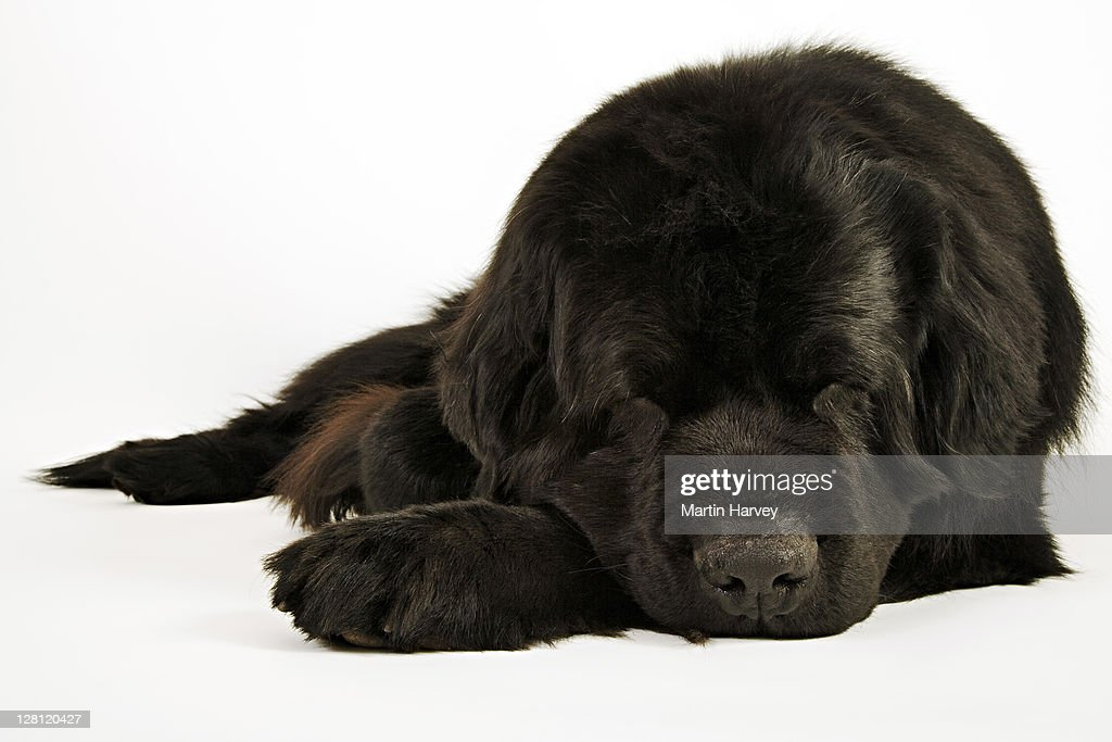 Newfoundland. Large, usually black, breed of dog. Originated in Newfoundland as a working dog. Well known for their natural water rescue tendencies, gentle and loyal nature. : Stock Photo