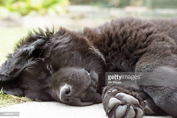 newfoundland pup hudson - newfoundland dog stock photos and pictures