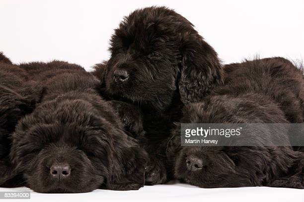 newfoundland puppies against white background. - newfoundland dog stock photos and pictures
