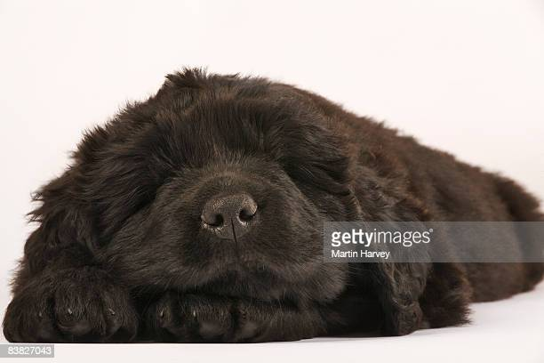 newfoundland puppy against white background. - newfoundland dog stock photos and pictures