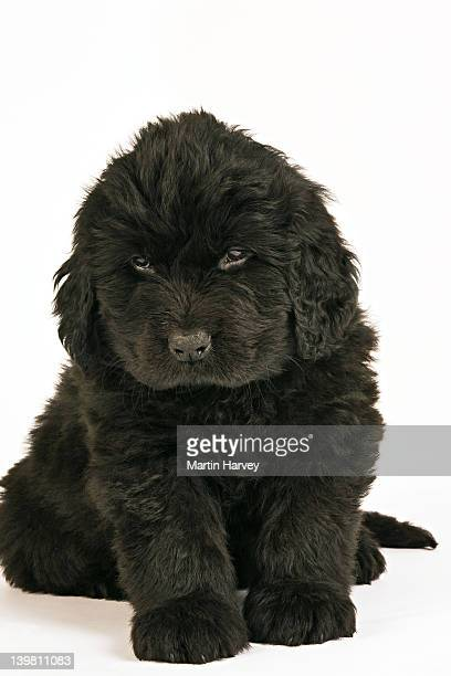 Newfoundland Puppy (Canis familiaris). Large, usually black, breed of dog. Originated in Newfoundland as a working dog. Well known for their natural water rescue tendencies, gentle and loyal nature.