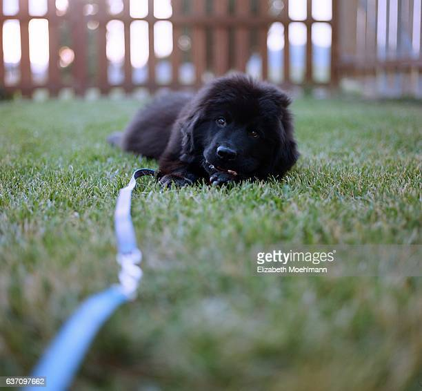 newfoundland puppy on leash - newfoundland dog stock photos and pictures