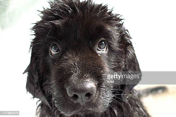 newfoundland puppy - newfoundland dog stock photos and pictures