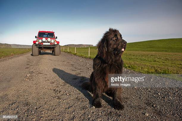 newfoundlander dog on road by farm - newfoundland dog stock photos and pictures
