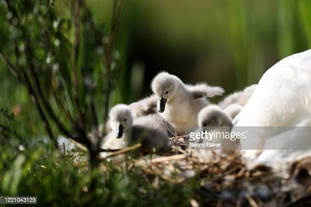 Newley hatched Cygnets are seen in their nest with their Mother Swan at a Lake in Whiteley on April 25, 2020 in Southampton, England.
