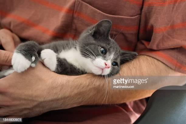 """newly adopted kitten being cuddled at home. - """"martine doucet"""" or martinedoucet stock pictures, royalty-free photos & images"""