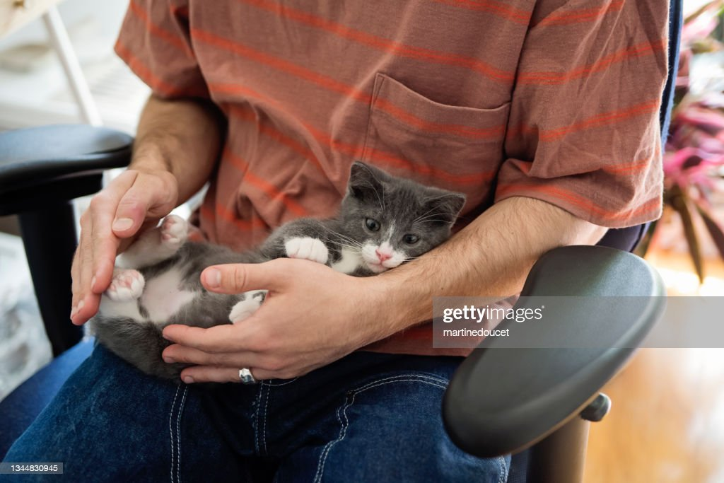 Newly adopted kitten being cuddled at home. : Stock Photo