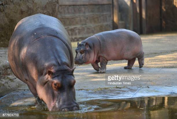 Newly born baby Hippopotamus with its mother seen at Delhi Zoo on November 23 2017 in New Delhi India