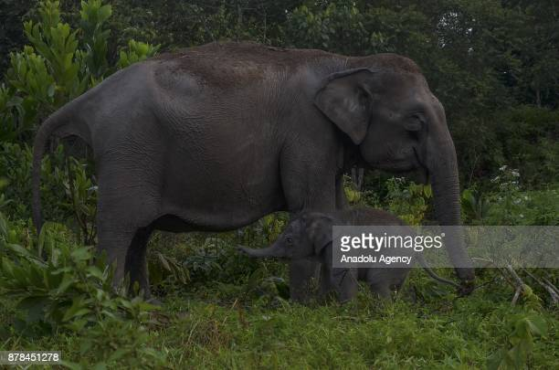 A newly born baby Sumatran elephant plays with her mother in Elephant Flying Squad Camp at the Tesso Nilo National Park in Riau Indonesia on November...