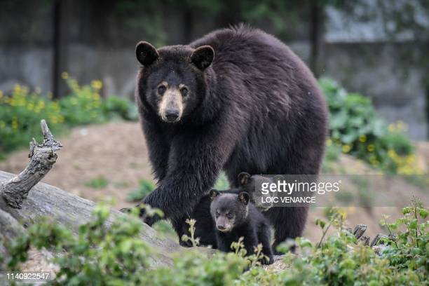 Newly born Baribal American black bears stand next to their mother on May 3 2019 at the Planete Sauvage zoological park in PortSaintPere near Nantes...