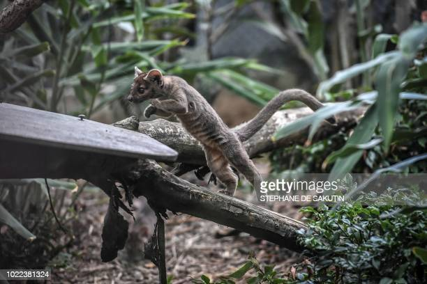 A newly born Fossa is pictured on August 24 2018 at Paris' zoological gardens also known as the Zoo de Vincennes