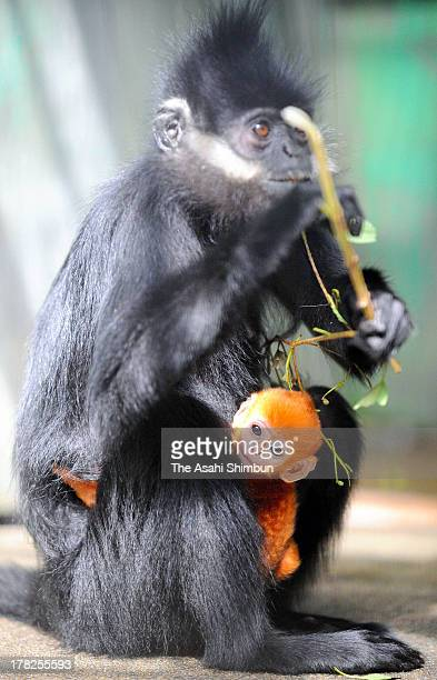 Newly born Francois' leaf monkey also known as Francois langur is seen at Japan Monkey Center on August 27 2013 in Inuyama Aichi Japan The monkey is...
