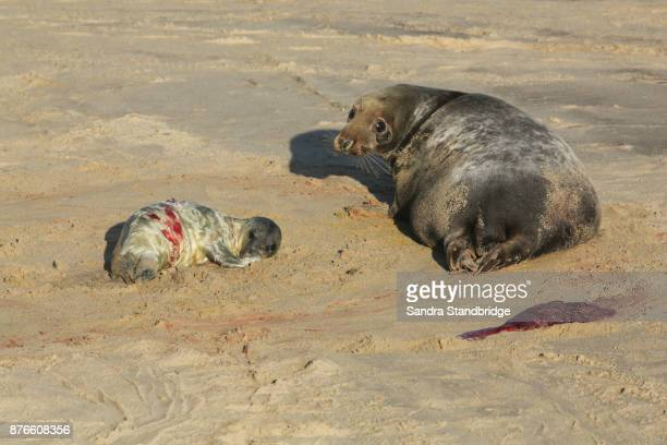 A newly born Grey Seal pup (Halichoerus grypus) lying on the beach near its resting mother at Horsey, Norfolk, UK.