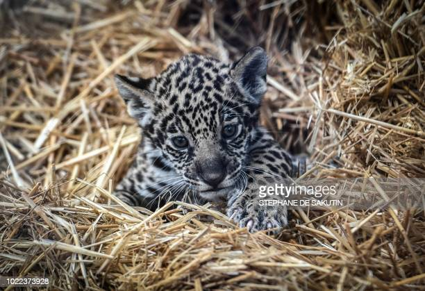 A newly born jaguar is seen on August 24 2018 at Paris' zoological gardens also known as the Zoo de Vincennes