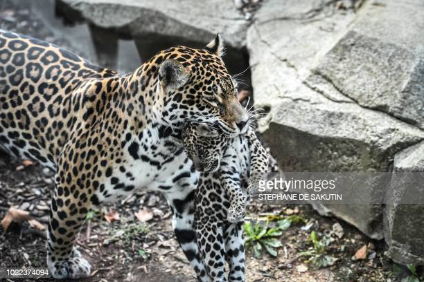 A newly born jaguar is seen with its mother on August 24 2018 at Paris' zoological gardens also known as the Zoo de Vincennes