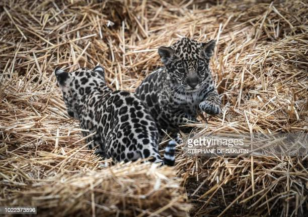 Newly born jaguars named 'Lenca' and 'Aloha' are seen on August 24 2018 at Paris' zoological gardens also known as the Zoo de Vincennes
