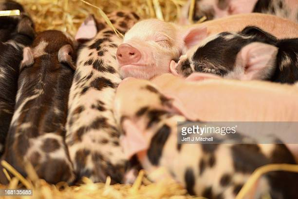 Newly born Kunekune piglets in the Galloway building in the small animal hospital at the School of Veterinary Medicine at the University of Glasgow...