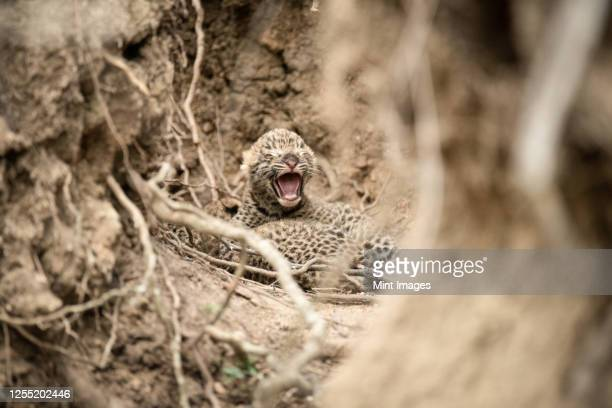 newly born leopard cubs, panthera pardus, lie together between roots and mud walls, one cub opens it mouth with closed eyes - mammal stock pictures, royalty-free photos & images