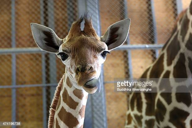 A newly born male giraffe looks at the camera in his enclosure in the Himeji Central Park on May 21 2015 in Himeji Japan The baby giraffe was born...