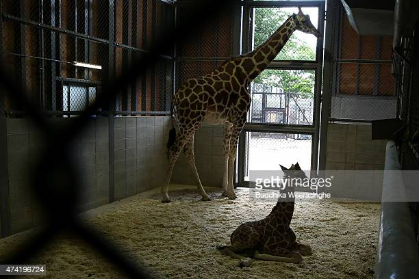A newly born male giraffe sits on ground beside his mother named Mimi in their enclosure in the Himeji Central Park on May 21 2015 in Himeji Japan...
