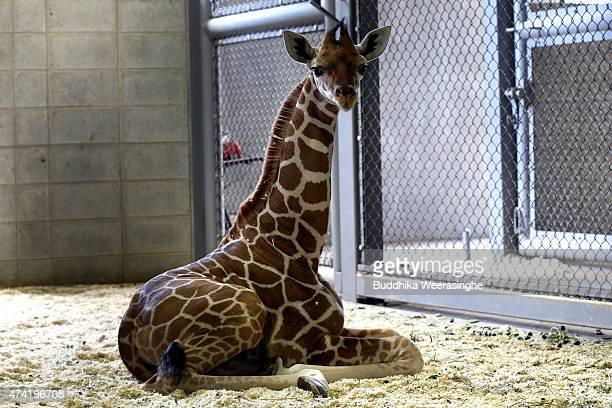 A newly born male giraffe sits on ground in his enclosure in the Himeji Central Park on May 21 2015 in Himeji Japan The baby giraffe was born April...
