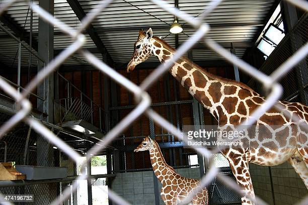 A newly born male giraffe stands beside his mother named Mimi in their enclosure in the Himeji Central Park on May 21 2015 in Himeji Japan The baby...