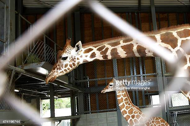 A newly born male giraffe stands beside his mother named Mimi in their enclosure in the Himeji Central Park on May 21 2015 in Himeji JapanThe baby...