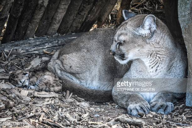 A newly born puma is seen with its mother Maeli on August 26 2020 at Paris' zoological gardens also known as the Zoo de Vincennes