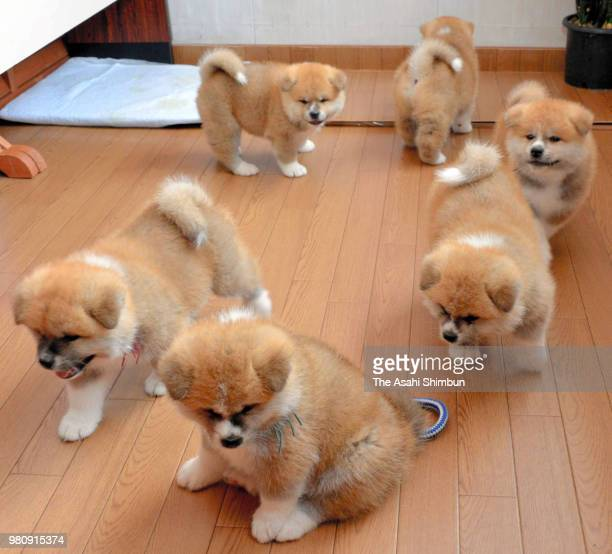 Newly born sextuplet Akita Inu dogs are seen at Furusawa Onsen on June 18 2018 in Odate Akita Japan Three male and three famale dogs were born on May...