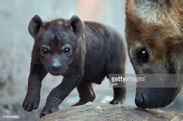A newly born spotted hyena baby is seen with its mother at the Animal Garden in Szeged Hungary at the Serbian border on March 17 2014 AFP PHOTO /...