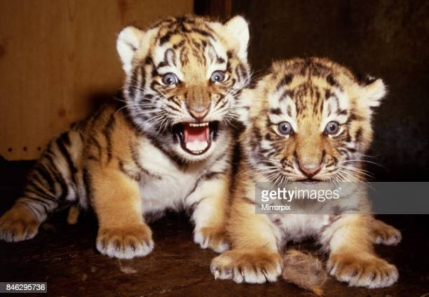 Newly born twin tiger cubs born to Hattie at marwell Zoo June 1985