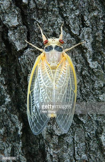 A newly emerged adult cicada dries its wings on a tree May 16 2004 at a park in Washington DC After 17years of living below ground billions of...