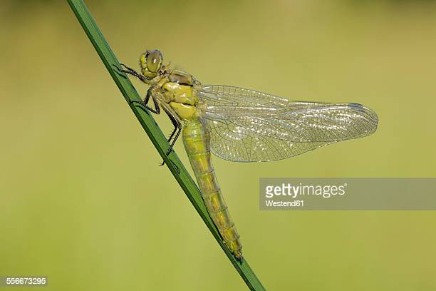 Newly emerged Black-tailed Skimmer drying its wings