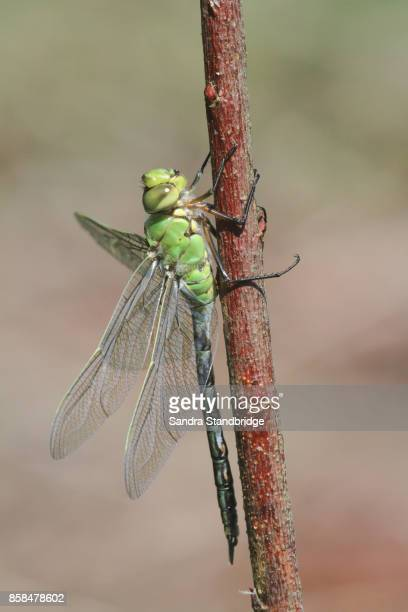 A newly emerged Emperor Dragonfly (Anax imperator ) perched on a plant.