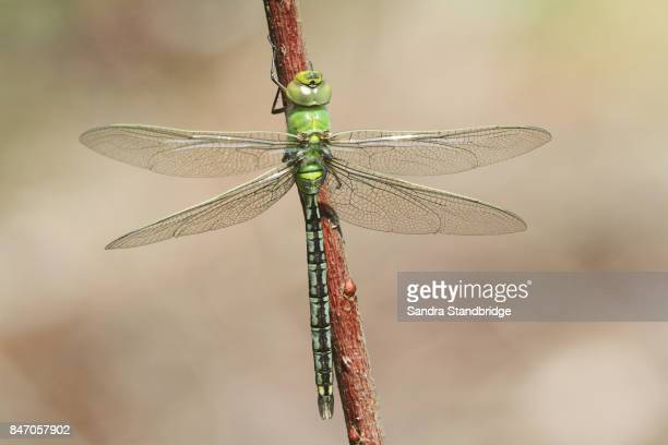 A newly emerged Emperor Dragonfly (Anax imperator ) perched on a plant stem.