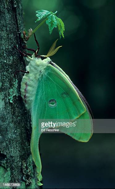 newly emerged luna moth--smoky mountains - ed reschke photography stock photos and pictures