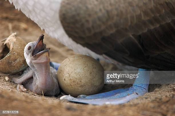 Newly Hatched Blue-Footed Booby Chick