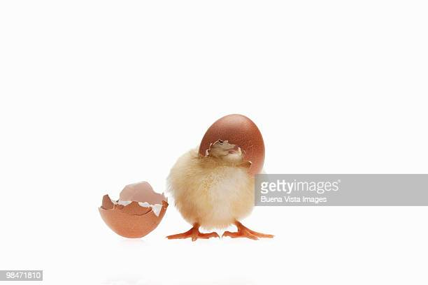 newly hatched chick and  eggs. - hatching stock photos and pictures