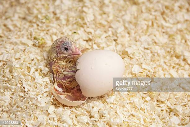 newly hatched chick beginning to emerge from egg - hatching stock photos and pictures