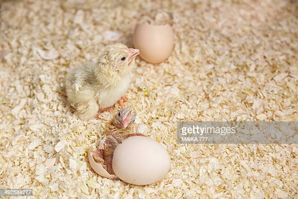 Newly hatched chick beginning to emerge from egg