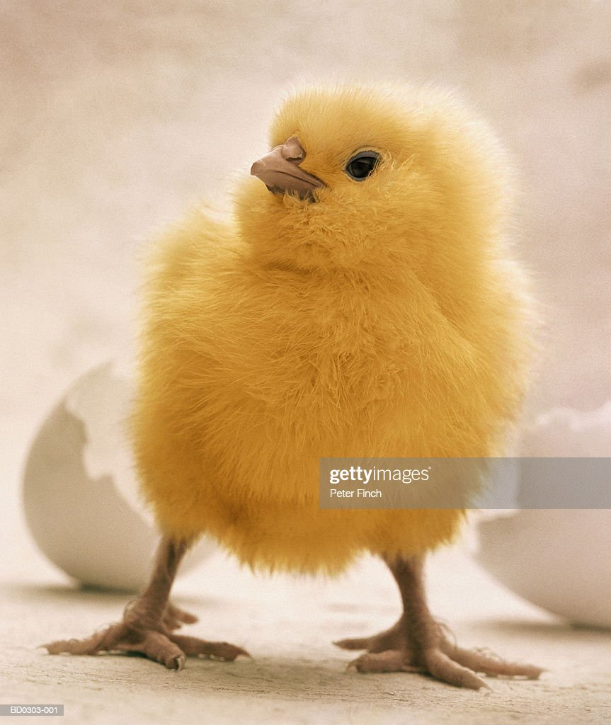 newly hatched chick in front of eggshell closeup stock photo getty