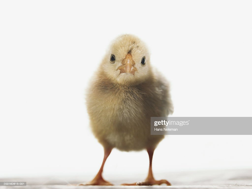 newly hatched chick stock photo getty images