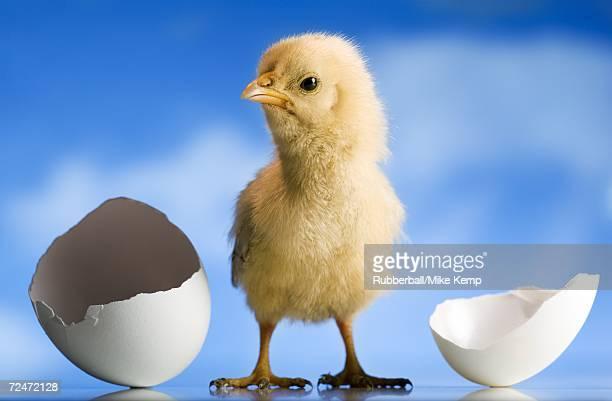 Newly hatched chickadee