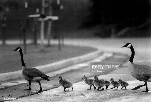 5/14/1994 Newly hatched goslings cross a road in Denver's city park yesterday under the protection of two older Canadian geese