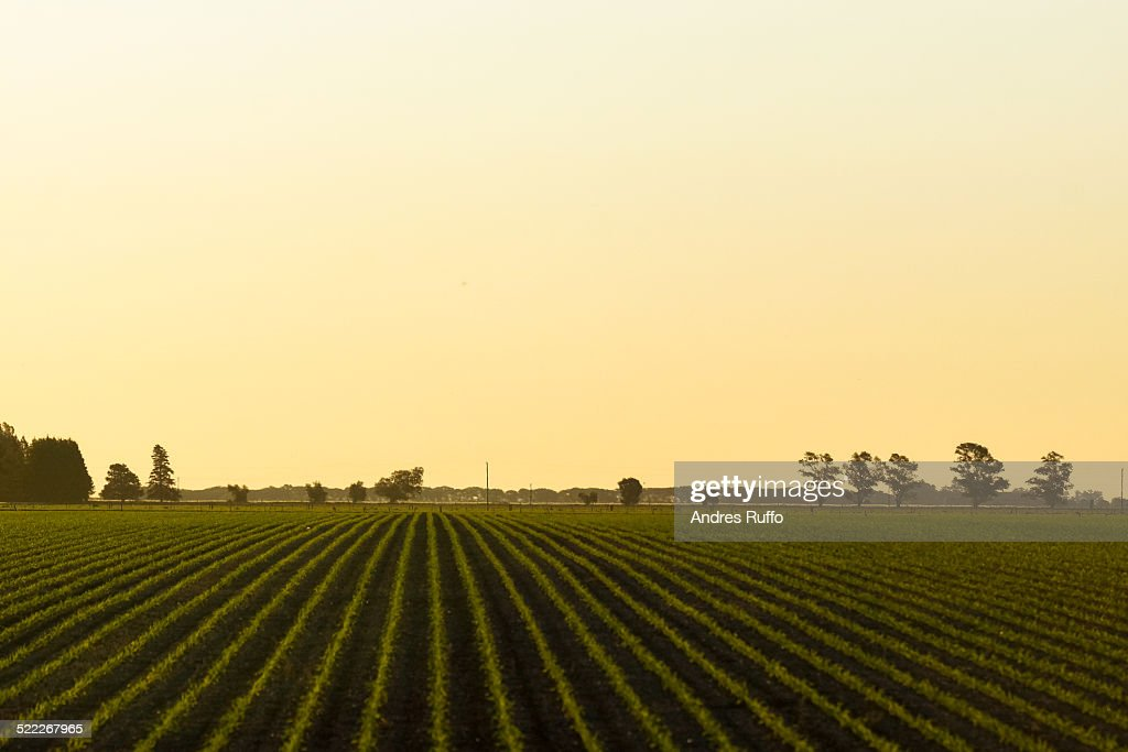 Newly planted soybean field : Stock Photo