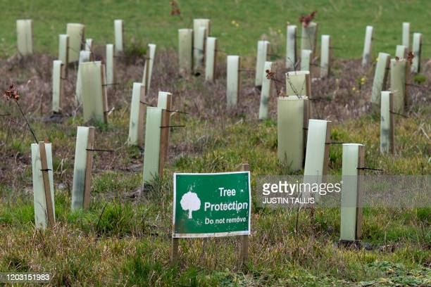 Newly planted trees are pictured near ancient woodland set to be felled to make way for Britain's HS2 high-speed in South Cubbington Wood, Leamington...