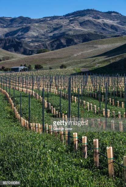 A newly planted vineyard and lush green cover crop in the Happy Canyon AVA are viewed on March 19 near Santa Ynez California Because of its close...